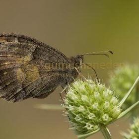 Kelebek Tür: Ağaç Karameleği